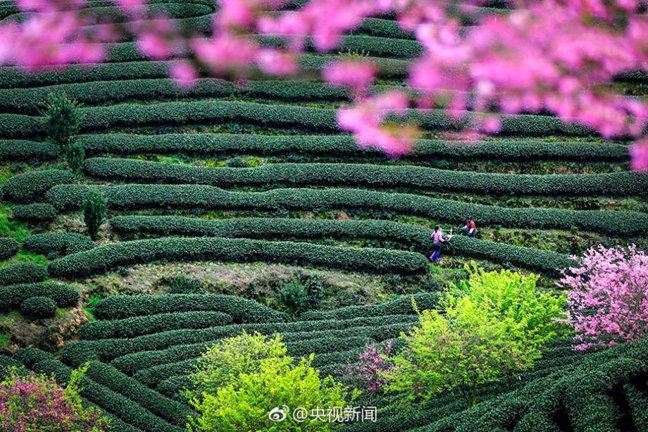 福建省ショウ平市 緑の茶畑とピ...