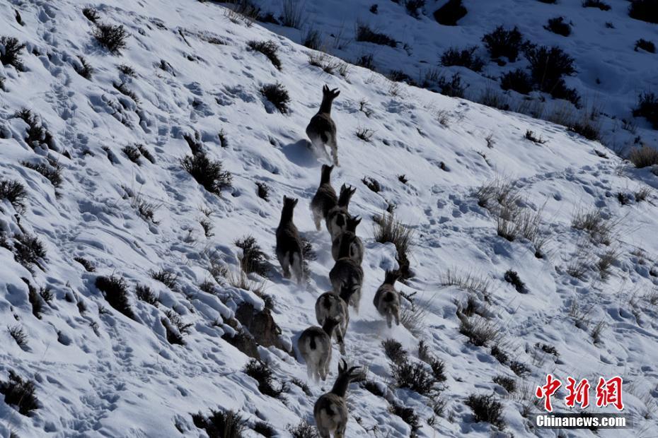 3月上旬、100頭以上のバーラルが甘粛省酒泉市アクサイ・カザフ族自治県の祁連山脈で餌探しをした。