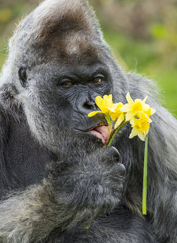 ゴリラ の 花束