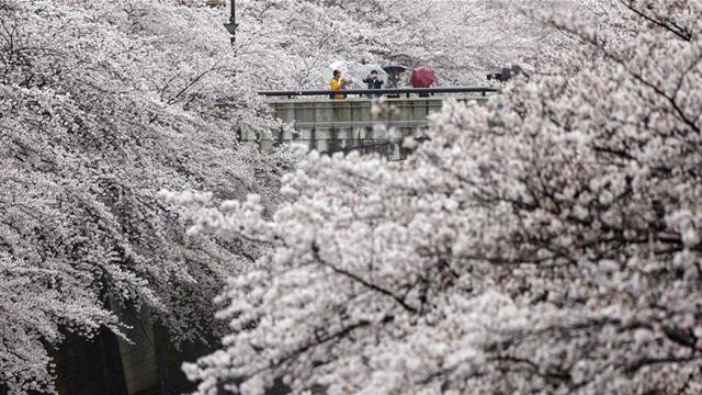 東京で桜満開!花見名所からの美しい情報