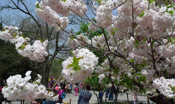 中日友好を見守る、人民大学の39本の桜にまつわる物語