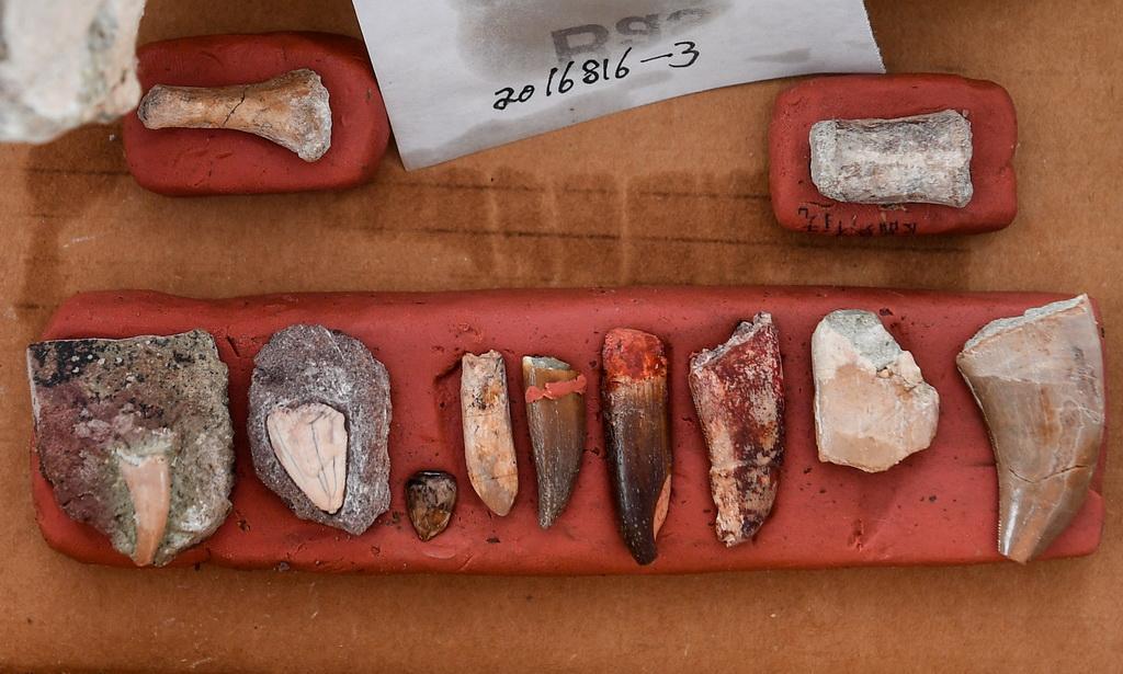 这是发现的恐龙和鳄类牙齿化石(6月8日摄)。 新华社记者 许畅 摄