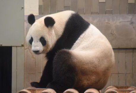 パンダの赤ちゃん、中日関係に新たな希望をもたらすか