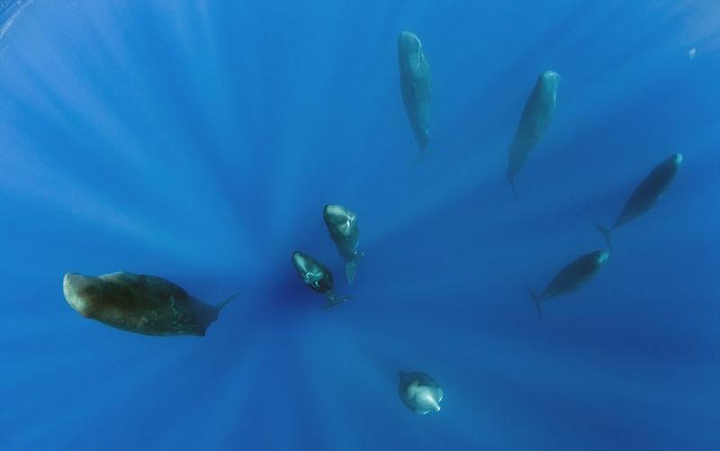 マッコウクジラの画像 p1_32