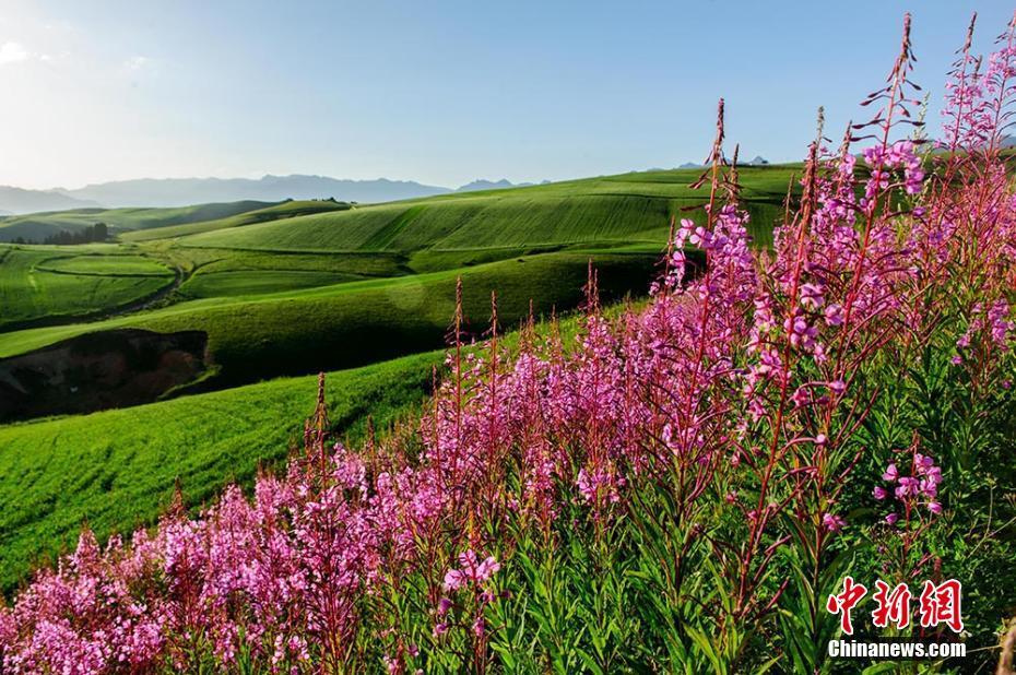 新疆・江布拉克風景区 菜の花と山の花が咲くコメント