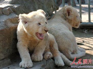 Близнецы белых львов в городе Нинбо провинции Ханчжоу