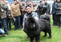 В провинции Цзянсу прошел финал конкурса тибетских мастиффов 2009 года