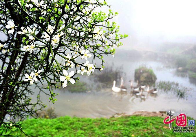 Красивые цветы чжиши в деревнях с