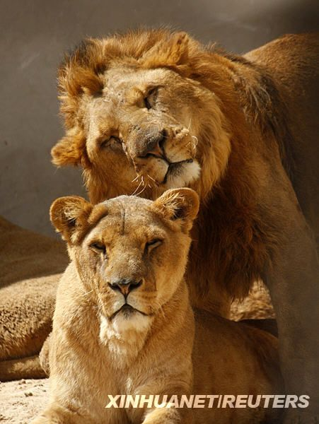 Существует ли любовь у львов Фото и видео факты за и