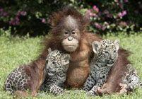 Африканские чита дружат с малым орангутангом