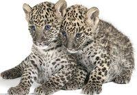 Крупные представители семейства кошачьих в объективах фотографов
