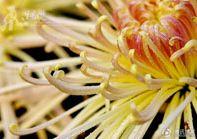 Чарующие хризантемы