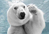 Танец белого медведя