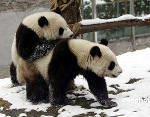 Центральное правительство подарит САР Аомэнь пару больших панд