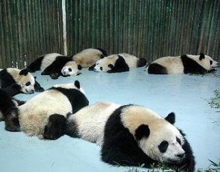 Трогательный момент: спящие панды, которые примут участие в ЭКСПО-2010