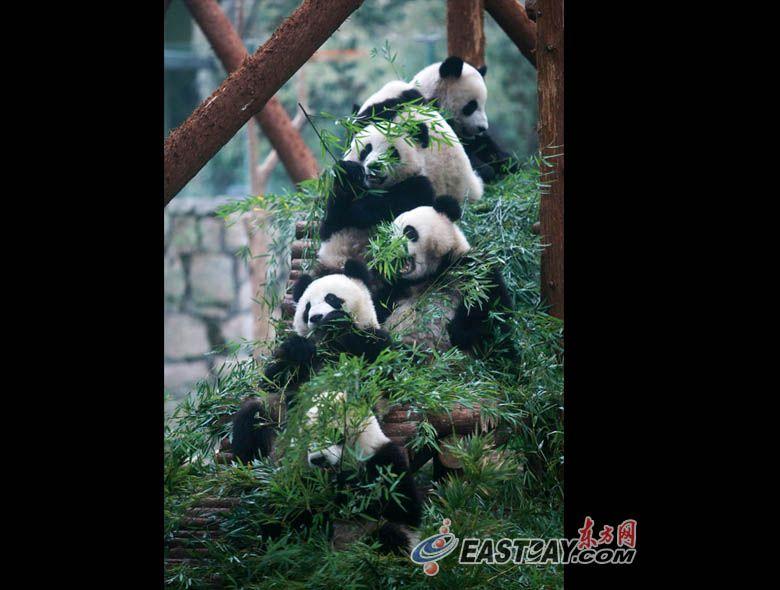 Счастливая жизнь ЭКСПО-панд в Шанхае