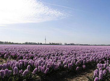 Сказочно красивое море тюльпанов в Голландии