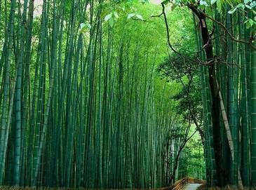 Очаровательные фотографии моря бамбука на юге провинции Сычуань