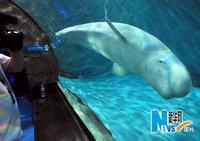 Город Ханчжоу импортировал белых китов из России