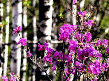 Рододендроны цветут в Хингане