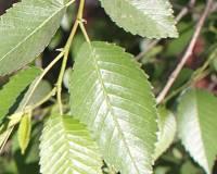 Тутовые деревья и Шелковый путь