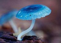 Редкие синие грибы