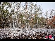 Березы после снега в Хулун-Буире