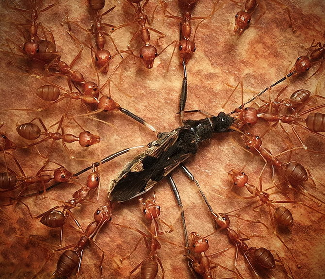 King ant insect