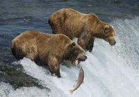 Реальная съемка с близкого расстояния рыбалки бурых медведей