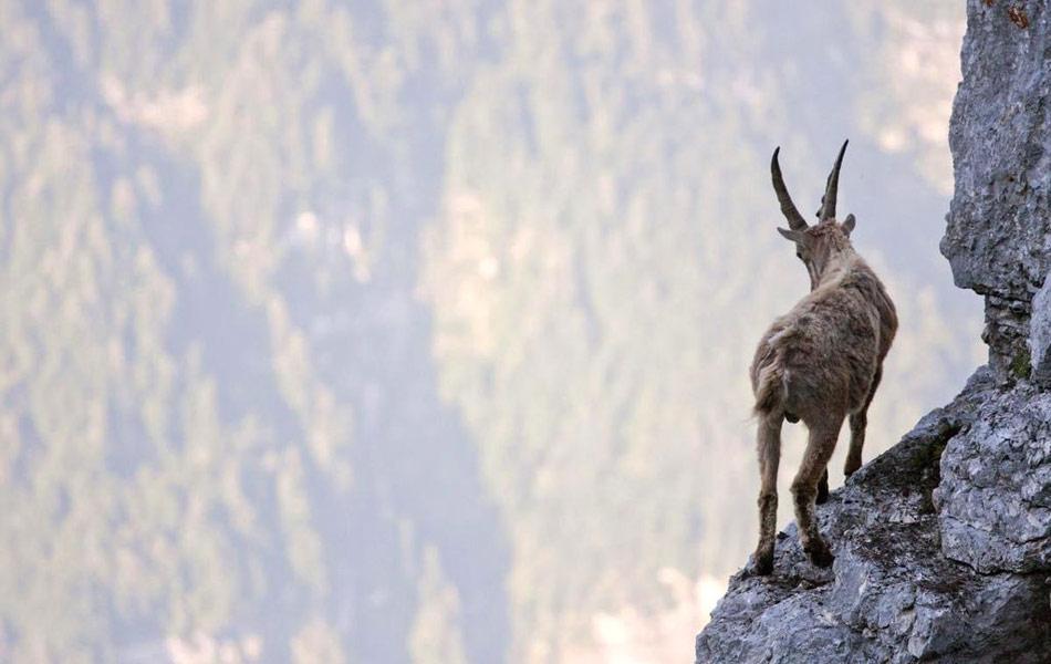 Самые смелые козлы мира: бой на отвесной скале 2