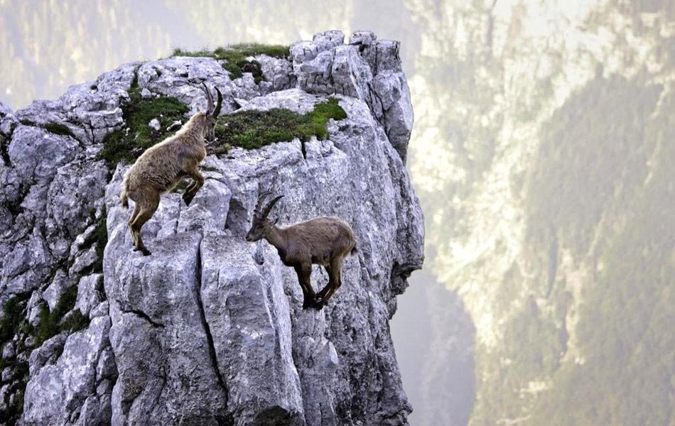 Самые смелые козлы мира: бой на отвесной скале 4