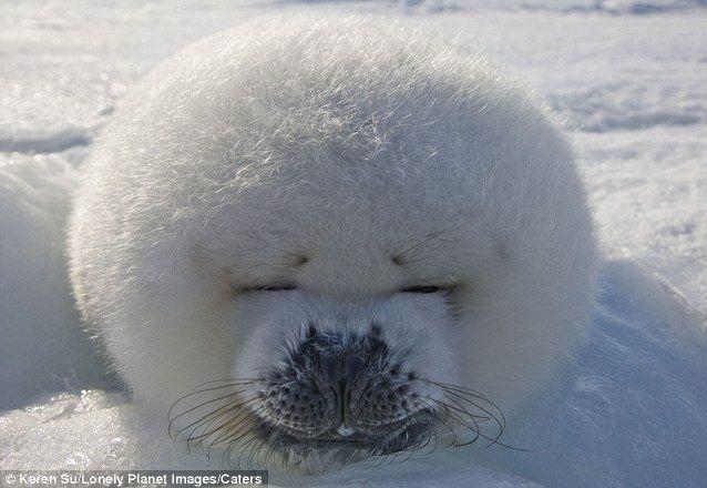 Приятная жизнь детеныша тюленя в Восточной Канаде