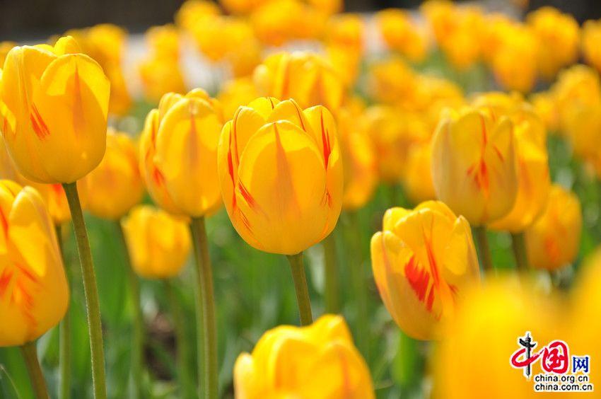 Фестиваль тюльпанов в швейцарском городе Морж