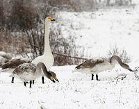 Лебеди на снегу