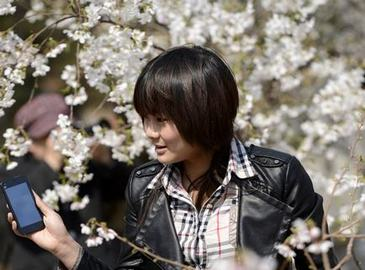 Цветущая вишня в пекинском парке 'Юйюаньтань'