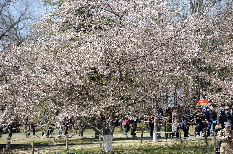 Цветение сакуры в пекинском парке 'Юйюаньтань'