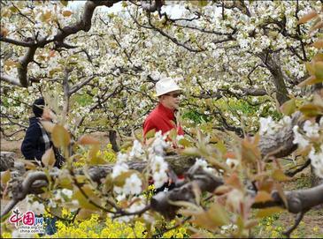 Очаровательный грушевый сад в уезде Гуаньсянь провинции Шаньдун