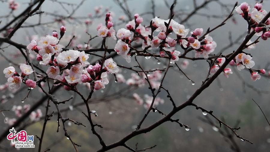 Очаровательные абрикосы на участке Великой китайской стены Цзиньшаньлин