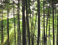 Бамбуковый лес в провинции Сычуань.