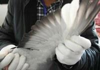 «Конкурс красоты» почтовых голубей