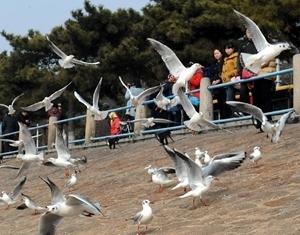 Любование чайками на побережье моря в городе Циндао