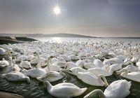 Белые лебеди нежатся под солнцем в Великобритании