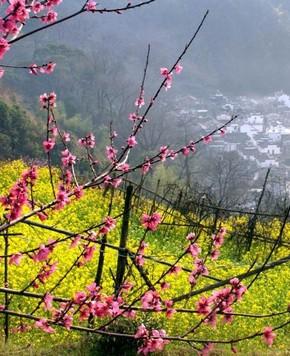 Чарующие цветы рапса в уезде Уюань