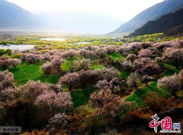 Красивые цветы персика в уезде Линьчжи Тибета