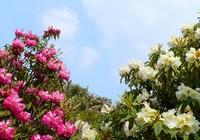 Красивые цветы в ледяных горах Дагу в провинции Сычуань