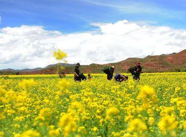 Красивые цветы рапса в районе Чанду Тибета