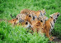 В лесопарке маньчжурских тигров пров. Хэйлунцзян обитают более 1100 особей маньчжурских тигров