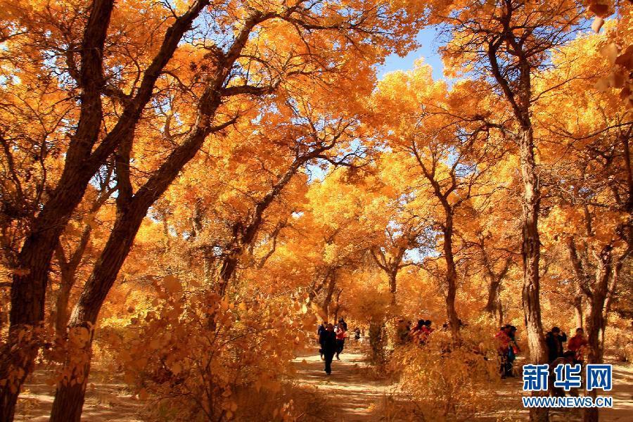 Красивый лес евфратских тополей в городе Дуньхуан провинции Ганьсу