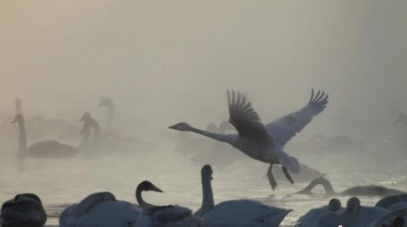 Россия: более 600 лебедей зимуют на теплом озере