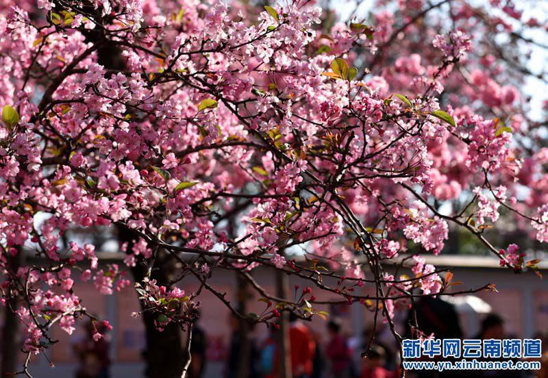 В Куньмине цветет вишня